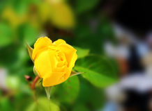Gevoelige geel nam bloeiend toe Royalty-vrije Stock Foto's