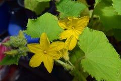 Gevoelige gele bloeiende komkommerzaailingen Stock Foto