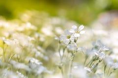 Gevoelige kleine witte bloemen in zonlicht op een mooie achtergrond Royalty-vrije Stock Foto
