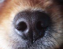 Gevoelige neus van een hond stock foto's