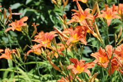 Gevoelige oranje daglelies Stock Afbeelding