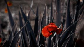 Gevoelige oranje tint van papaver Papaverknoppen in al zijn glorie De mobiele, kleine, wildzang stock video
