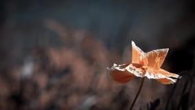 Gevoelige oranje tint van papaver Papaverknoppen in al zijn glorie Papaver, een andere knop op de manier stock videobeelden