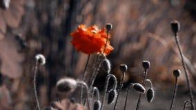 Gevoelige oranje tint van papaver Selectie van papavers bij hun de zomerplattelandshuisje stock footage