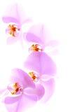 Gevoelige orchidee op witte achtergrond Stock Afbeeldingen