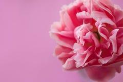 Gevoelige pluizige roze pioen op roze achtergrond stock afbeelding