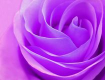 Gevoelige purper rosebud nam close-up toe Royalty-vrije Stock Fotografie