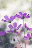 Gevoelige purpere bloemen die omhoog met pastelkleuren, achtergrond kijken bokeh Zachte selectieve nadruk Royalty-vrije Stock Fotografie