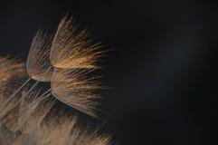 Gevoelige, reuzepaardebloem in oranje uitbarsting Royalty-vrije Stock Fotografie
