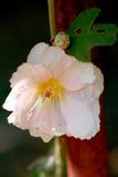 Gevoelige roze bloem Stock Afbeelding