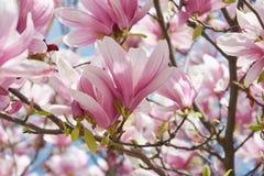 Gevoelige roze bloemen van tot bloei komende magnolia in de de lentetuin Tot bloei komende magnoliaboom stock afbeeldingen