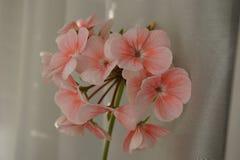Gevoelige roze geraniumbloem Stock Afbeelding