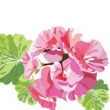 Gevoelige Roze geraniumbloemen stock illustratie