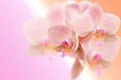 Gevoelige roze orchideebloemen op vage gradiënt Stock Afbeelding