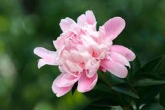 Gevoelige roze peonie in de tuin stock foto