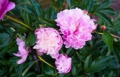 Gevoelige roze pioenen in de groene tuin stock foto's