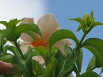 Gevoelige schoonheid in een eenvoudige bloem stock fotografie