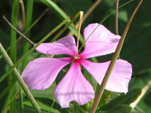 Gevoelige schoonheid in een eenvoudige bloem stock foto