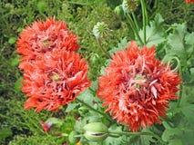 Gevoelige wilde papaverbloemen in plattelandsweide royalty-vrije stock foto
