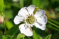 Gevoelige witte bloem met meeldraad royalty-vrije stock afbeeldingen