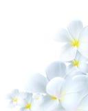 Gevoelige witte bloembloei Royalty-vrije Stock Foto's