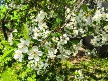 Gevoelige witte bloemen bloeiende kers stock foto