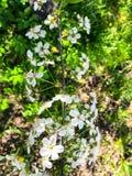 Gevoelige witte bloemen bloeiende kers royalty-vrije stock foto