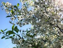 Gevoelige witte bloemen bloeiende kers stock foto's