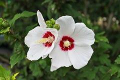Gevoelige witte bloemen en knoppen op achtergrond van gebladerte royalty-vrije stock foto