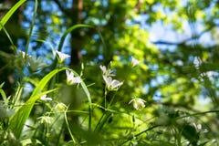 Gevoelige witte bloemen van muur op een Zonnige bosopen plek Stock Foto's
