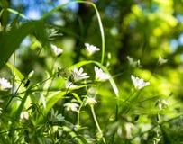 Gevoelige witte bloemen van muur op een Zonnige bosopen plek Royalty-vrije Stock Afbeeldingen