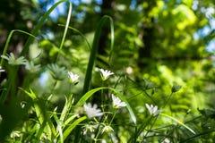 Gevoelige witte bloemen van muur op een Zonnige bosopen plek Stock Afbeelding