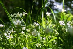 Gevoelige witte bloemen van muur op een Zonnige bosopen plek Royalty-vrije Stock Fotografie