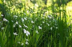 Gevoelige witte bloemen van muur op een Zonnige bosopen plek Stock Afbeeldingen