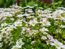Gevoelige witte bloemen van Steenbreek bemost in de lentetuin stock afbeeldingen