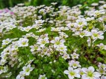 Gevoelige witte bloemen van Steenbreek bemost in de lentetuin royalty-vrije stock afbeeldingen