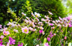 Gevoelige witte bloemen van Steenbreek bemost in de lentetuin stock foto's
