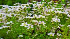 Gevoelige witte bloemen van Steenbreek bemost in de lentetuin stock fotografie
