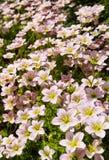 Gevoelige witte bloemen van Steenbreek bemost in de lentetuin royalty-vrije stock foto