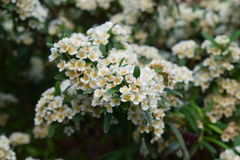 Gevoelige witte bloemuitbarstingen Royalty-vrije Stock Foto