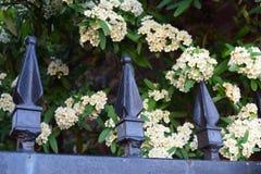Gevoelige witte bloemuitbarstingen en zwarte metaalomheining royalty-vrije stock afbeelding