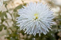 Gevoelige witte chrysantenbloem Stock Afbeelding