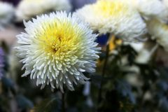 Gevoelige witte chrysantenbloem Royalty-vrije Stock Afbeelding