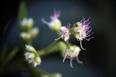 Gevoelige witte en roze bloem typisch van het Atlantische Bos stock afbeeldingen
