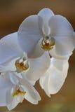 Gevoelige witte orchidee Stock Foto