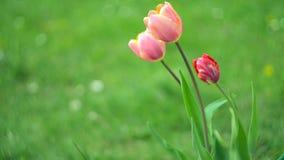 Gevoelige zachte tulpenbloei stock video