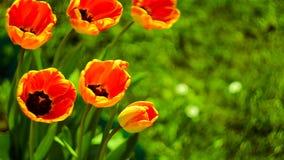 Gevoelige zachte tulpenbloei stock footage