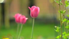 Gevoelige zachte tulpenbloei stock videobeelden