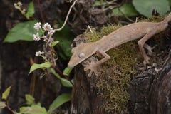 Gevoerde leaftail gekko (Uroplatus), Madagascar Stock Afbeelding