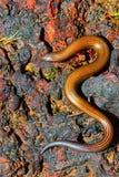 Gevoerde Lenige Skink, Lygosoma-lineata, Satara, Maharashtra Royalty-vrije Stock Foto's